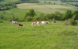 race  montbèliardaise    vaches