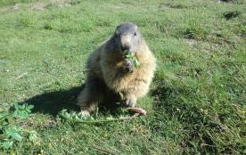 Nos amies les marmottes à 7 kms de Guillestre