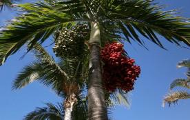 Palmier du jardin (Paul et Virginie )