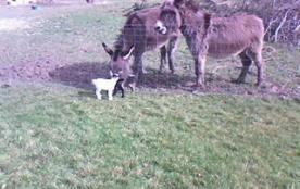 nos ânes et chèvres naines