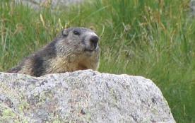 les marmottes logent a 100 m du chalet