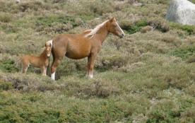 les chevaux sauvages au plateau de Coscione
