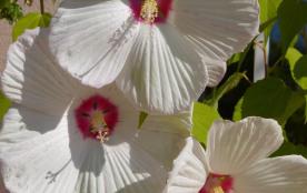Hibiscus de notre collection