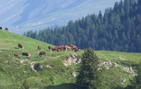 les vaches en prairie