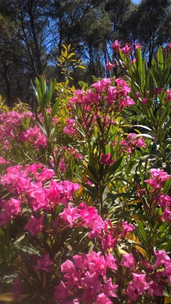 Splendeur des lauriers roses en été