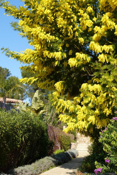 Le mimosa en février