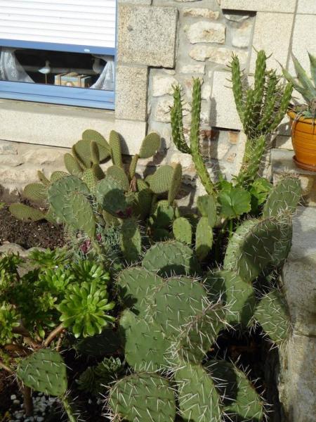 petit parterre de cactus devant la maison