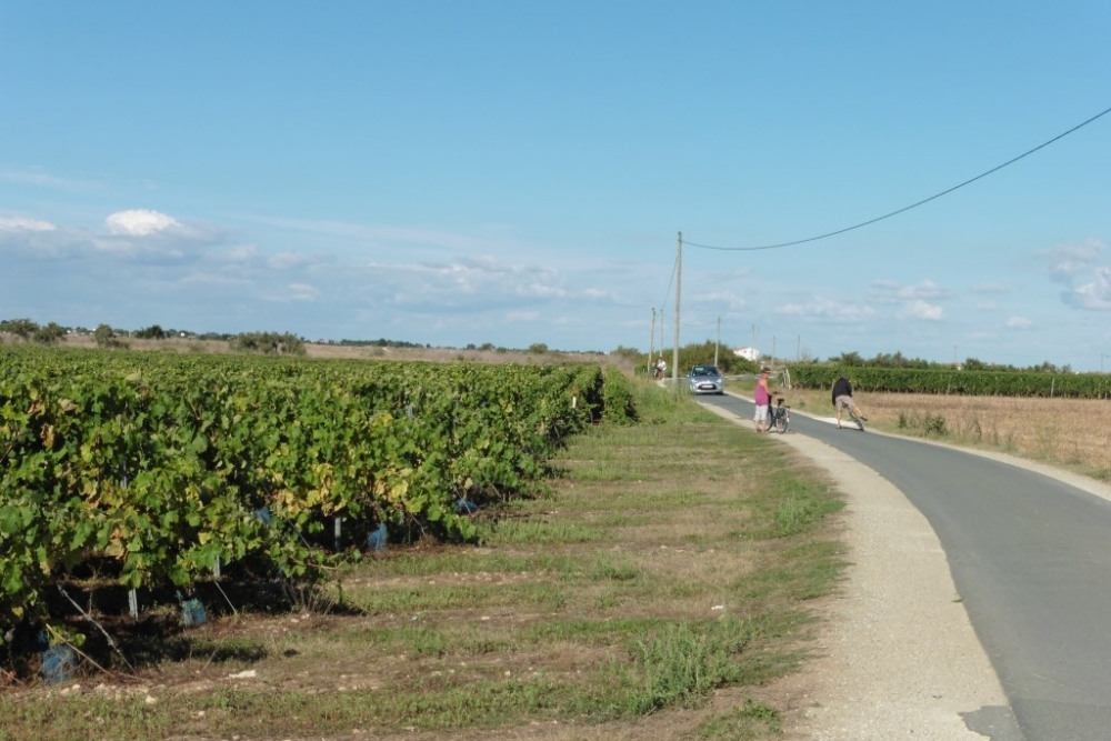 promenade à travers les vignes qui nous donneront le bon pineau charentais