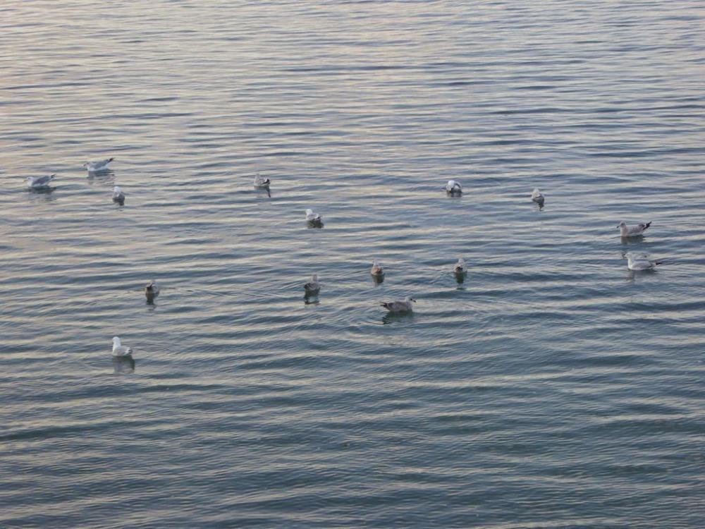 mouettes sur l'eau