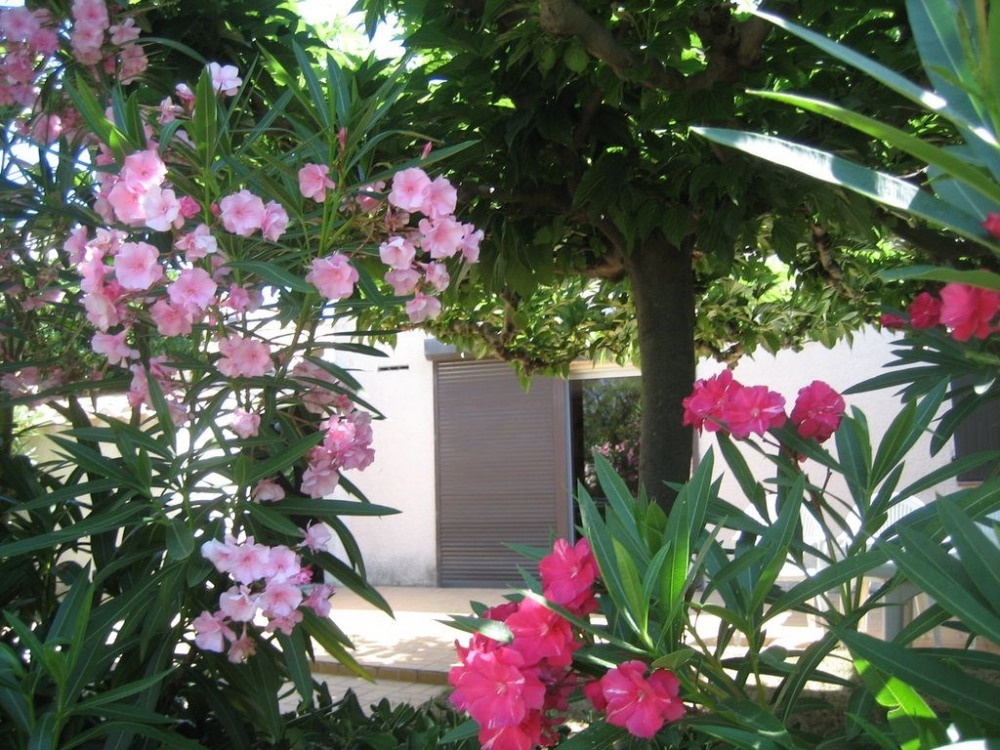 laurier rose et murier platane du jardin