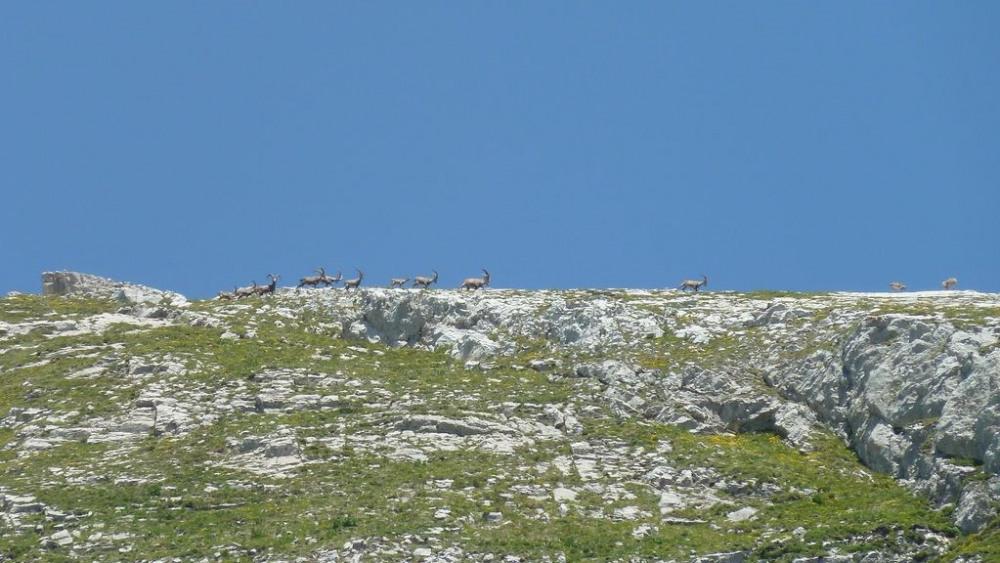 Chamois / Bouquetins en randonnée