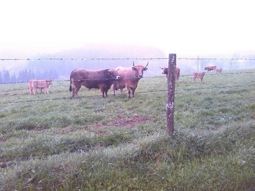 à proximité un troupeau de vaches , veaux et le taureau
