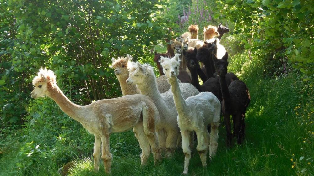 élevage de lamas et alpagas à visiter