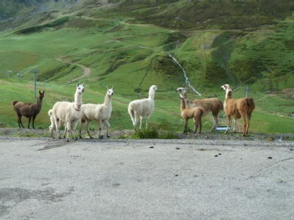 lamas, couleur locale.....