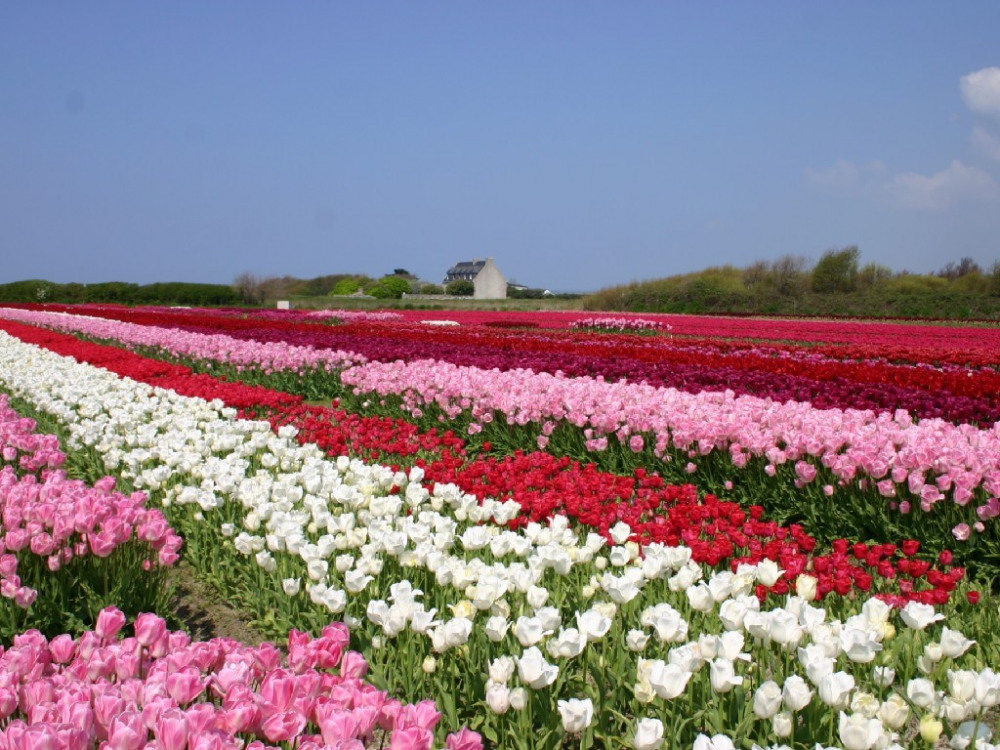 Champs de tulipes au printemps