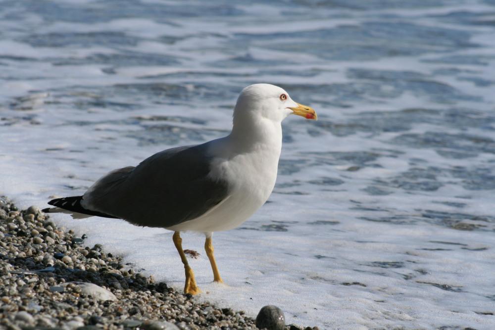 Goéland à la plage
