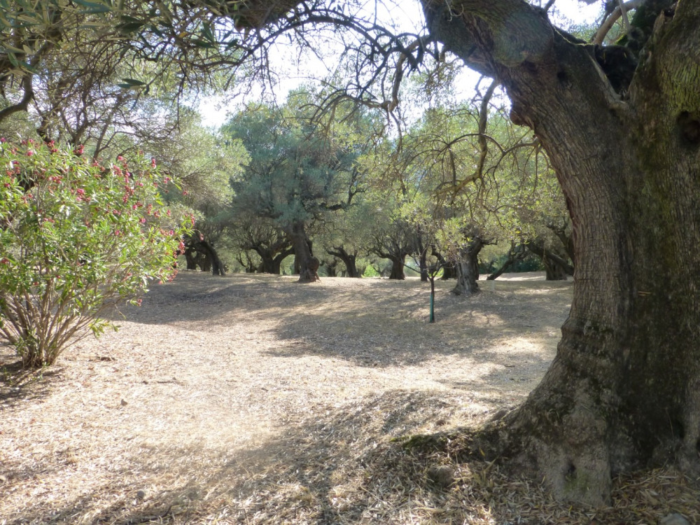 Jardin et oliviers en été