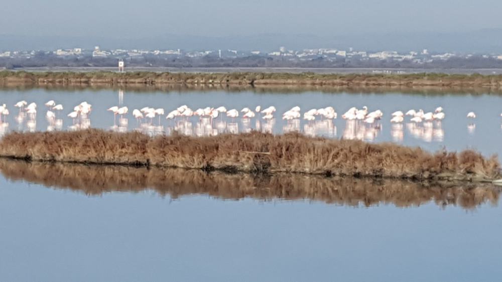 Les flamans roses
