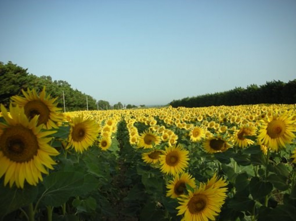 Un des soleils de Provence