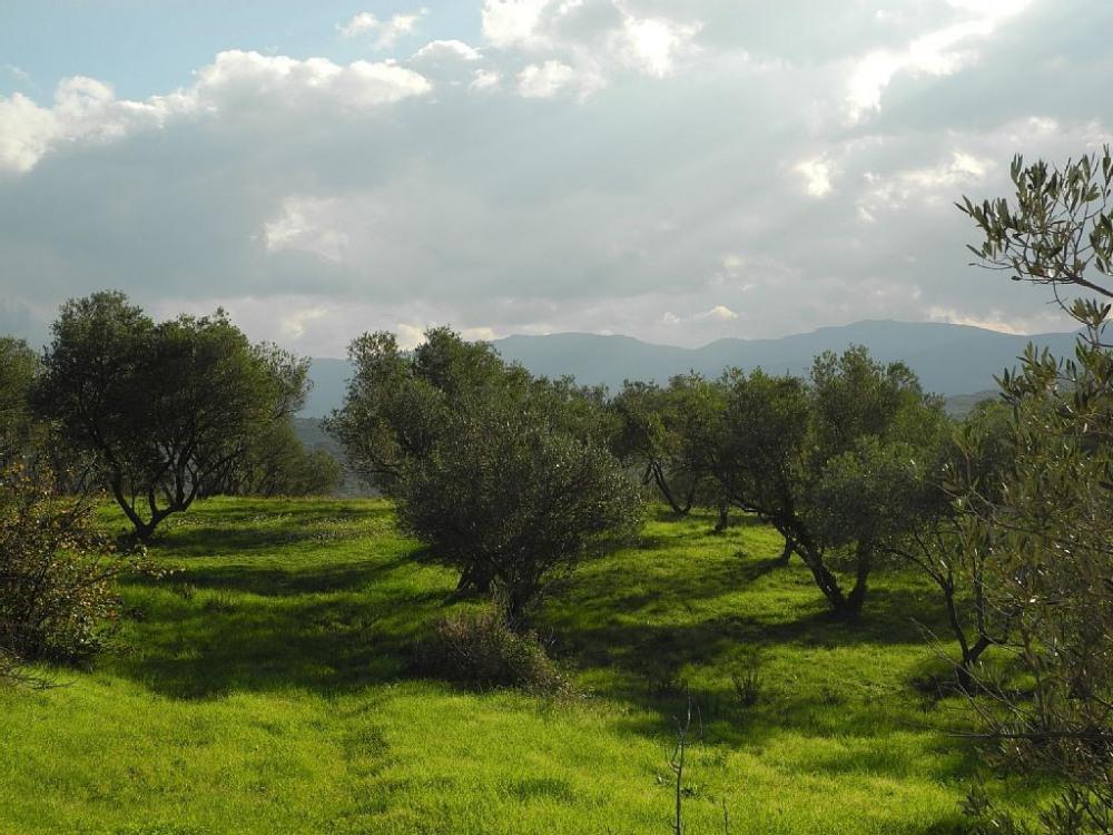 Oliveraie mitoyenne au sud