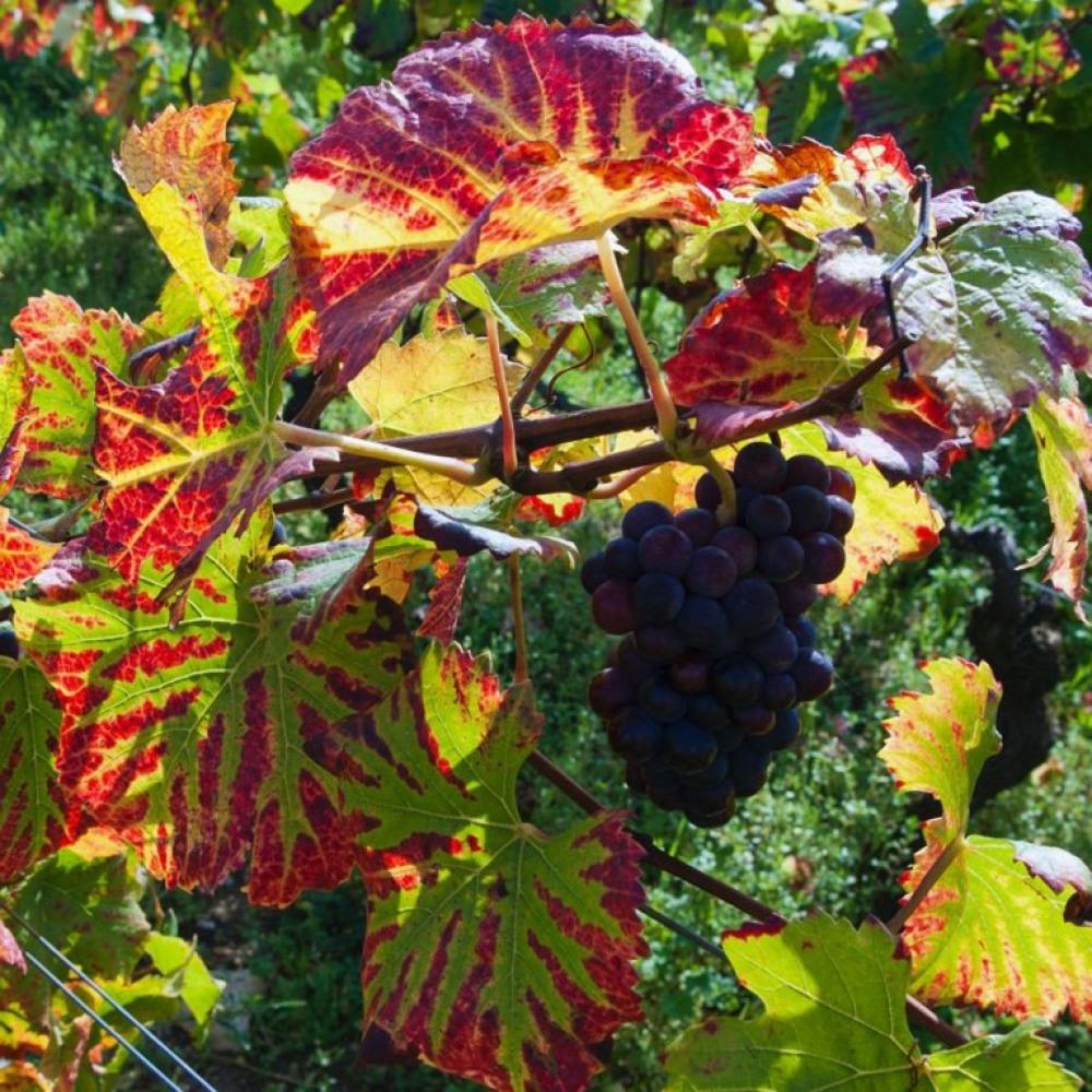 Feuilles vigne - automne