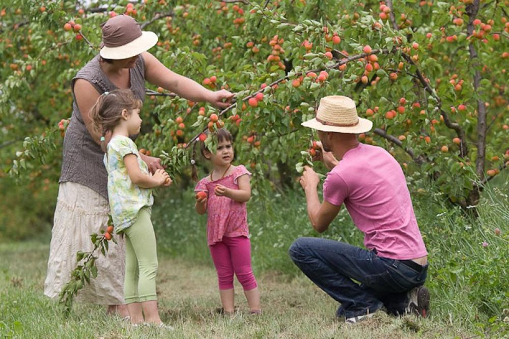 Sur le Domaine : les abricotiers, récolte de fin mai à mi août, pêchers, poirier