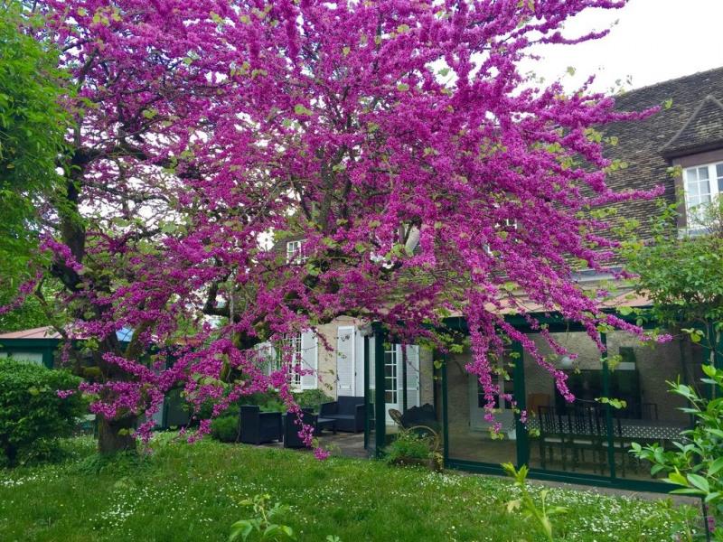 L'arbre de judée en fleurs