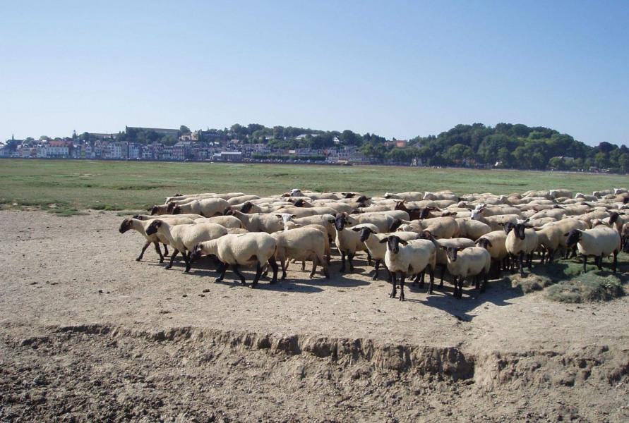 Les moutons de prés salés, Le Crotoy